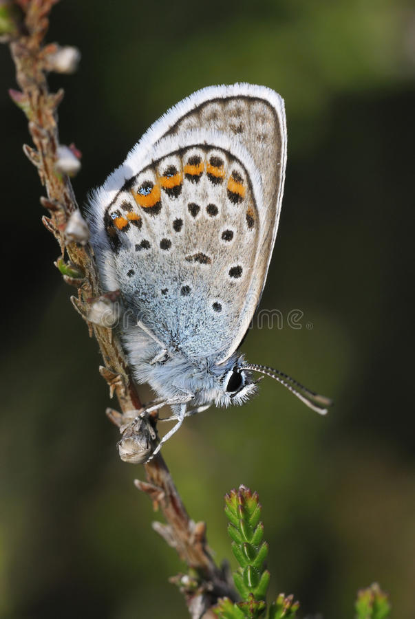 Silver-studded Blue royalty free stock image