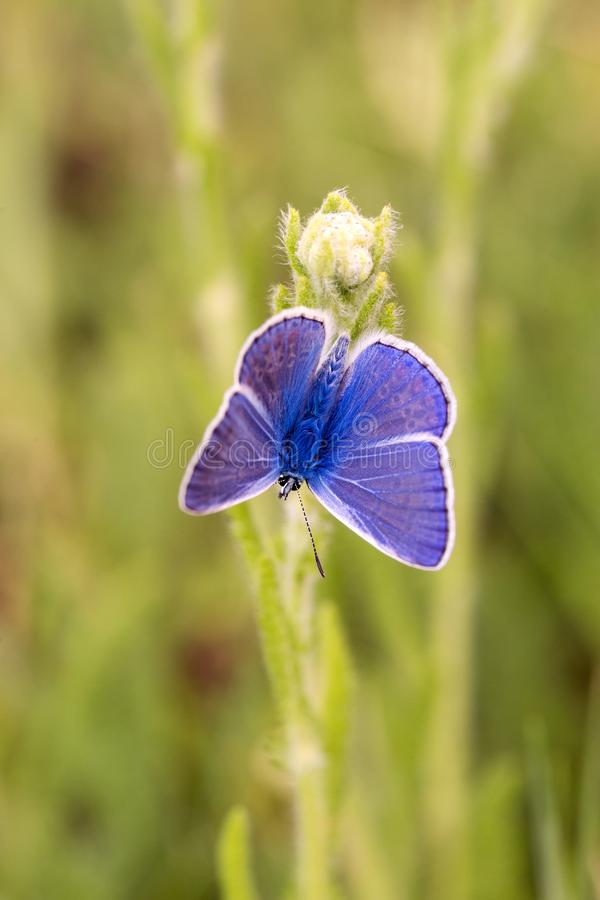 Silver-studded Blue butterfly resting on a white flower royalty free stock photos