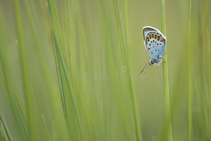 Silver studded blue resting in green grass royalty free stock image