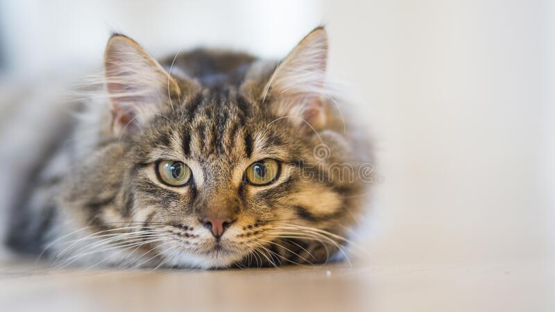 Silver Tabby Cat Lying on Brown Wooden Surface stock photo