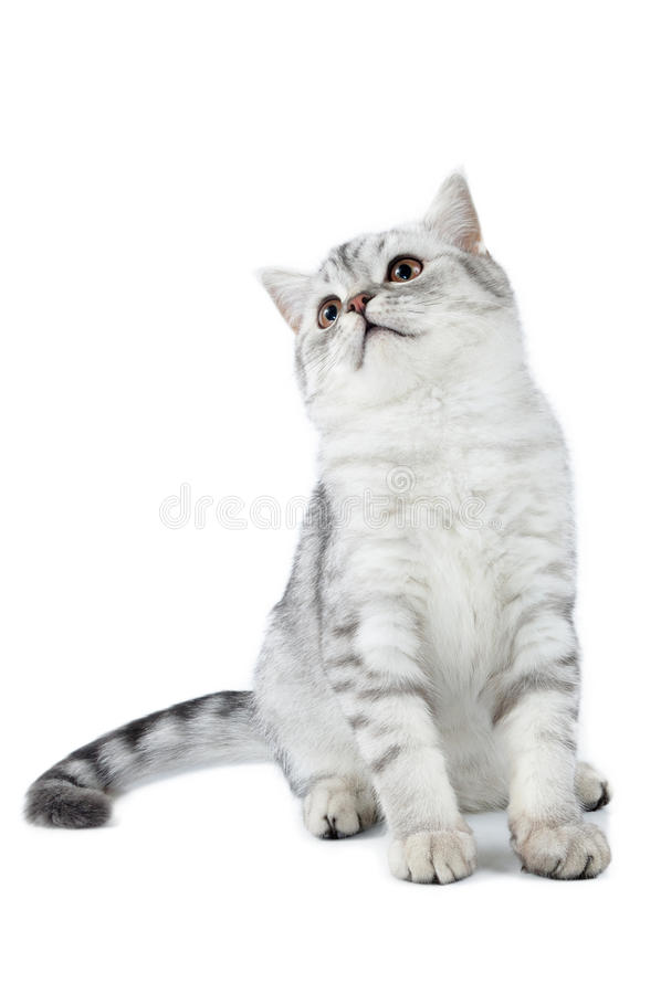 Silver tabby Scottish cat sitting and looking up