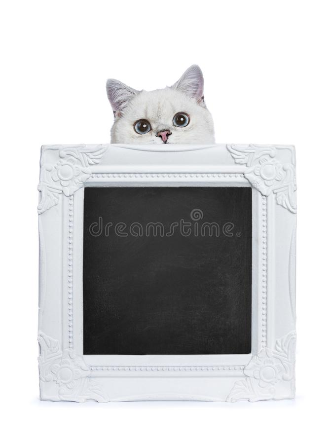 Silver Tabby Seal Point British Shorthair Holding Stock Photo ...
