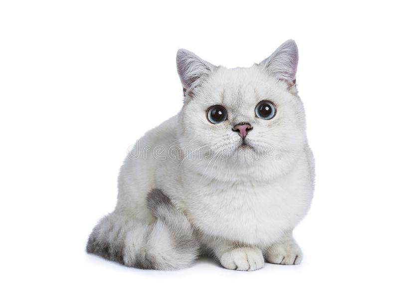 Silver tabby seal point British Shorthair. Laying side ways looking at the camera isolated on white background stock image