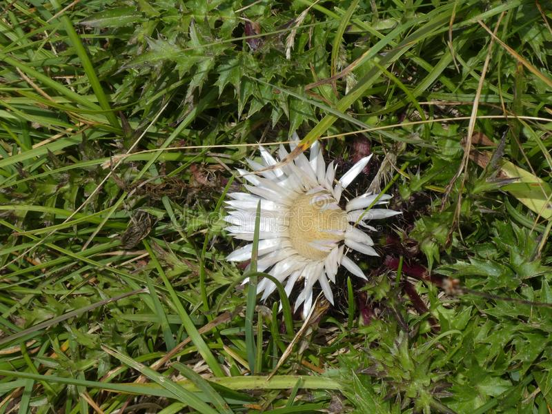 Silver thistle in the. Mountains of Italy stock image