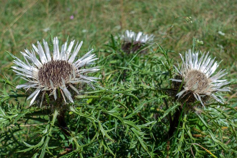 Silver thistles on a meadow stock image