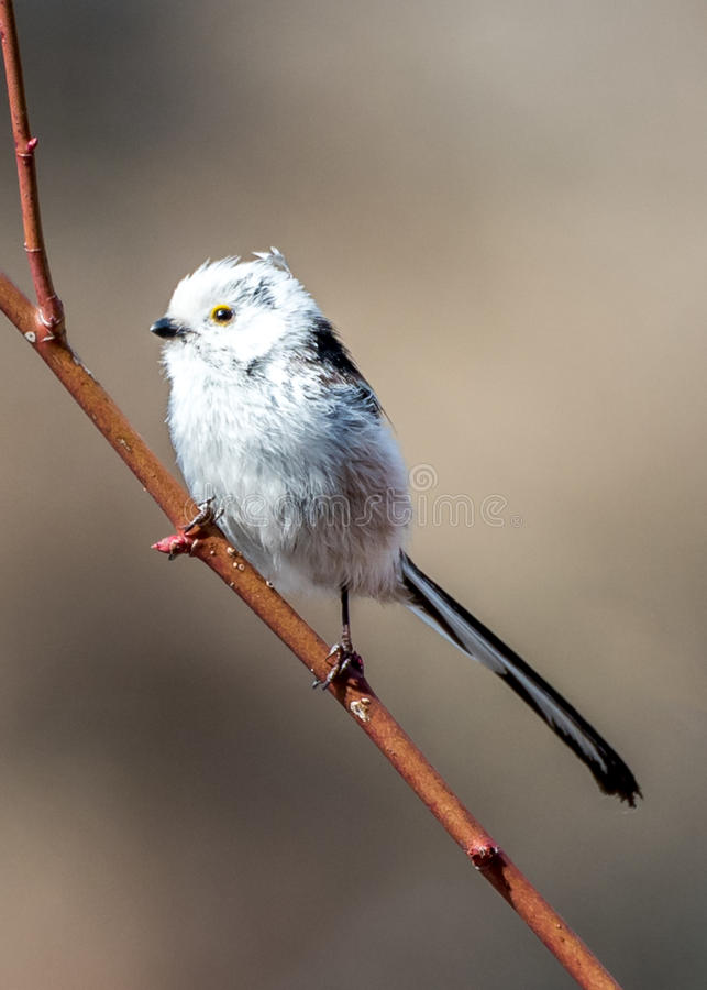 The Silver-throated Bushtit. Aegithalos glaucogularis in the wild juglans regia valley of Gongliu county, Xinjiang of China royalty free stock image