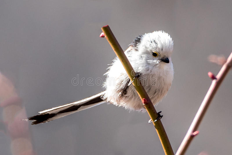 The Silver-throated Bushtit. Aegithalos glaucogularis in the wild juglans regia valley of Gongliu county, Xinjiang of China royalty free stock images