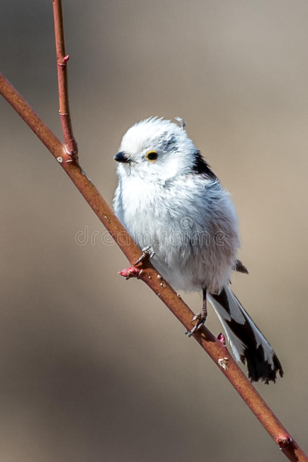 The Silver-throated Bushtit. Aegithalos glaucogularis in the wild juglans regia valley of Gongliu county, Xinjiang of China royalty free stock photo