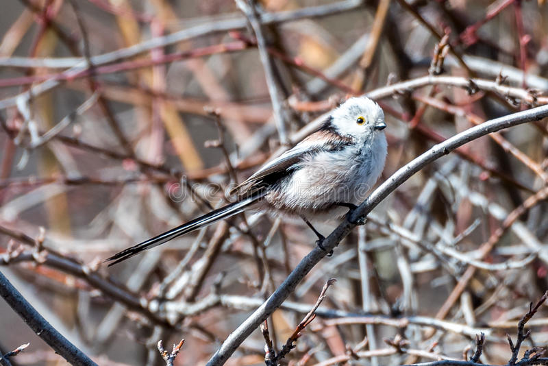 The Silver-throated Bushtit. Aegithalos glaucogularis in the wild juglans regia valley of Gongliu county, Xinjiang of China royalty free stock photos