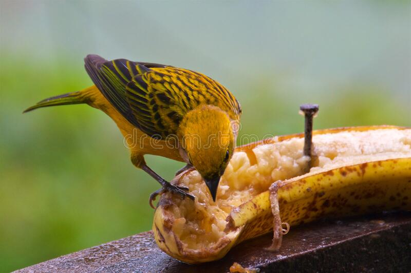 Silver-throated tanager looking for food in the cloud forest in Alajuela, Costa Rica stock photography