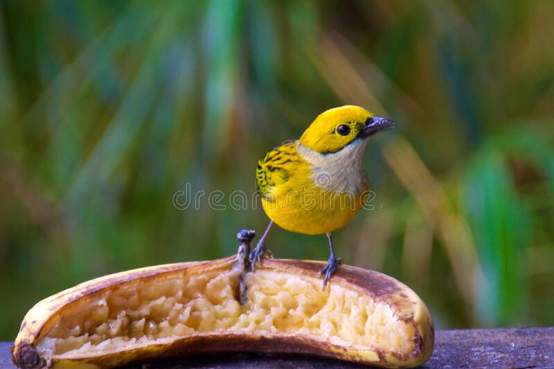 Silver-throated tanager looking for food in the cloud forest in Alajuela, Costa Rica royalty free stock photos