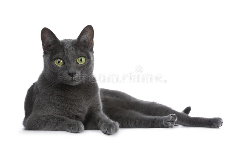 Silver tippade den blåa vuxna Korat katten som isolerades på vit bakgrund royaltyfri fotografi