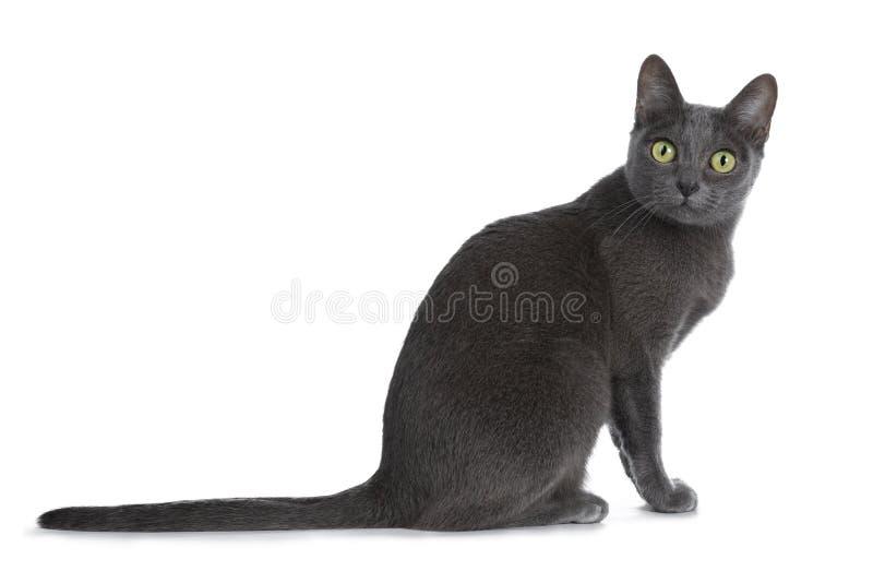 Silver tippade den blåa vuxna Korat katten som isolerades på vit bakgrund arkivbild