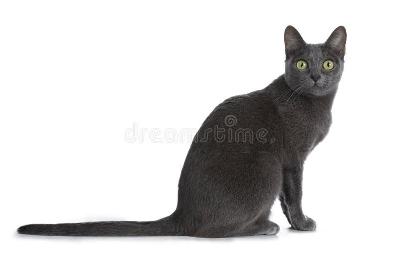 Silver tippade den blåa vuxna Korat katten som isolerades på vit bakgrund arkivfoton