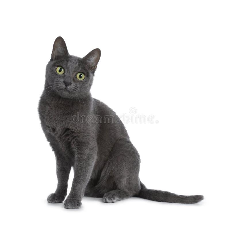 Silver tippade den blåa vuxna Korat katten som isolerades på vit bakgrund royaltyfria foton