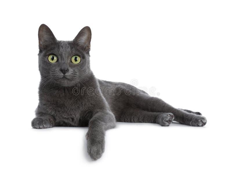 Silver tippade den blåa vuxna Korat katten som isolerades på vit bakgrund royaltyfri foto