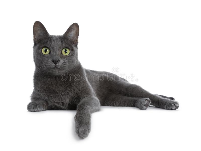 Silver tipped blue adult Korat cat, isolated on white background royalty free stock photo