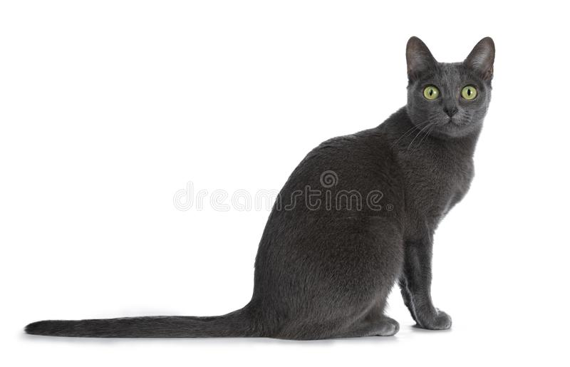 Silver tipped blue adult Korat cat, isolated on white background stock photos