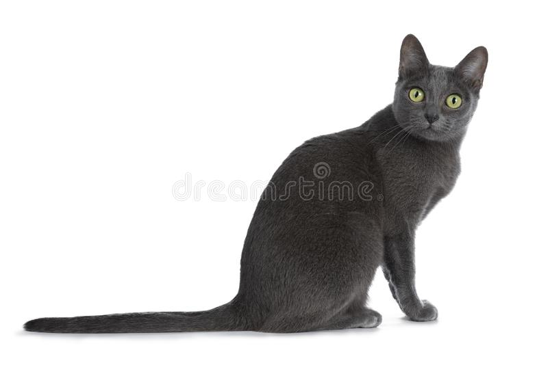 Silver tipped blue adult Korat cat, isolated on white background stock photography