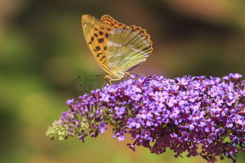 Silver-tvättad fjäril för fritillaryArgynnispaphia som matar på arkivbild