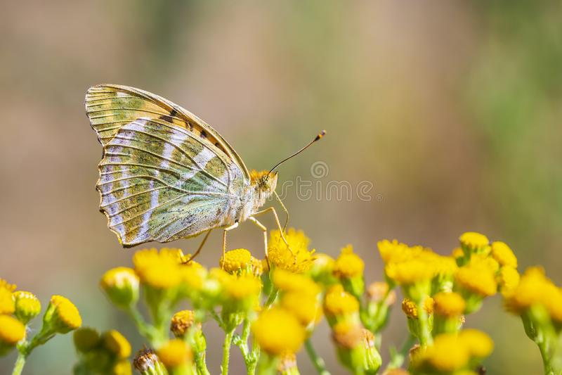 Silver-tvättad fritillaryfjäril, Argynnispaphia, closeup arkivbilder