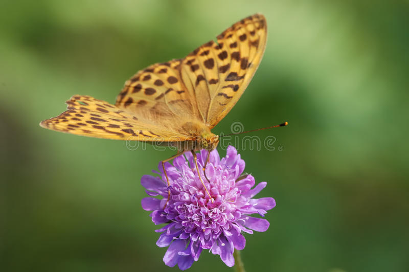 Download Silver-washed fritillary stock image. Image of lepidoptera - 26608379