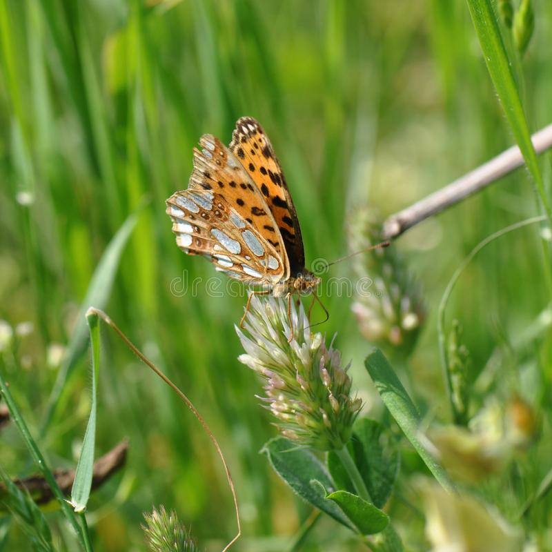 Silver-washed fritillary butterfly royalty free stock image
