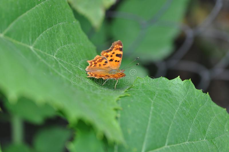 Silver-washed fritillary butterfly stock image