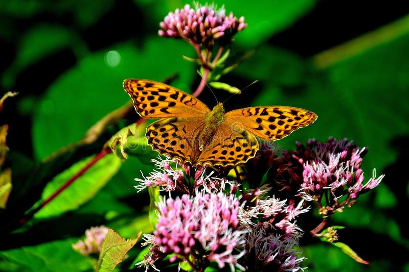Silver washed fritillary. Argynnis paphia royalty free stock photography