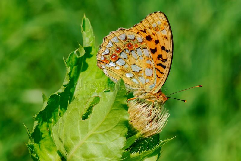 Silver-washed fritillary Argynnis paphia sitting on flower of thistle. Orange butterfly sitting on a flower and sucks nectar - detail. Taken with macro lens stock image