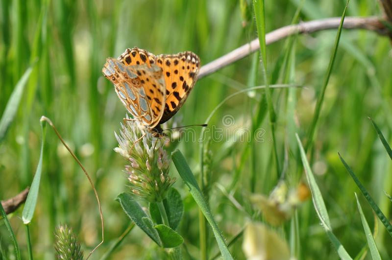 Silver-washed fritillary butterfly royalty free stock photos