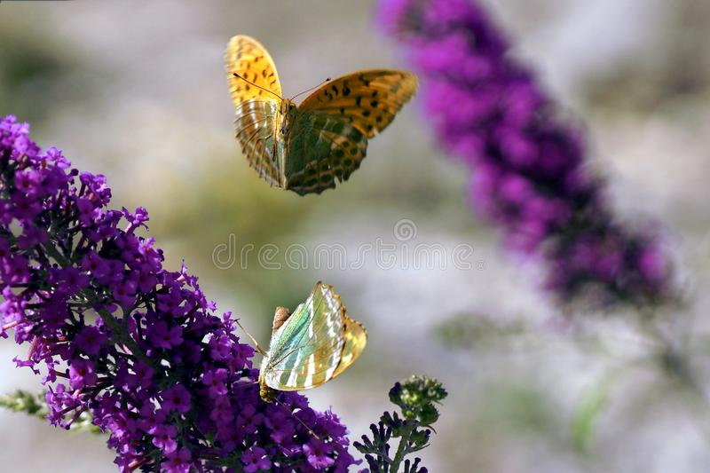Silver-washed fritillary mating on lilac royalty free stock image