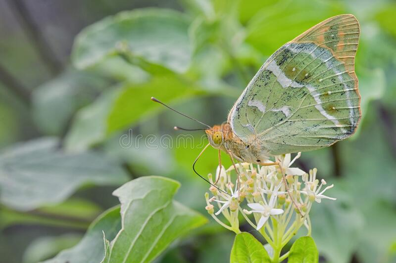 Silver washed Fritillary underwing butterfly royalty free stock photo