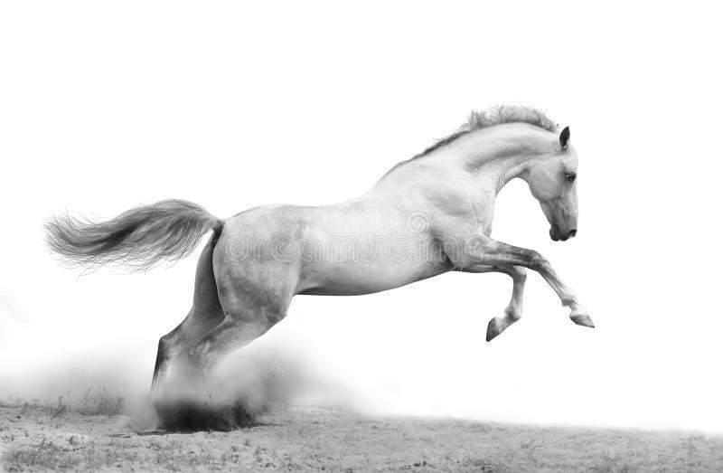 Silver-white stallion royalty free stock photo