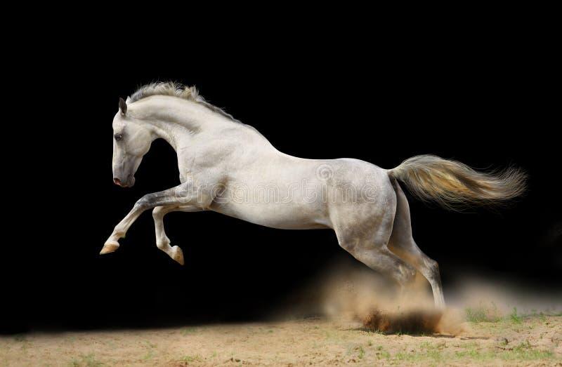 Silver-white stallion on black stock photography