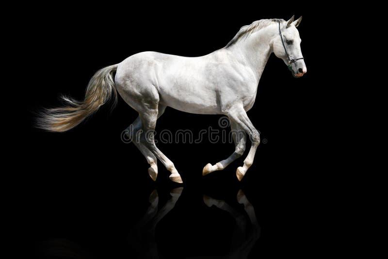 Silver-white stallion galloping