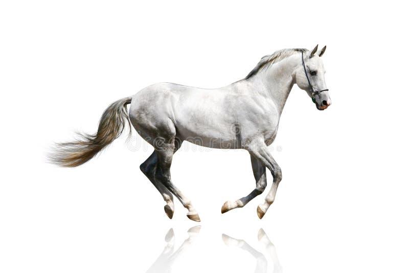 Silver-white Stallion Galloping Royalty Free Stock Photos