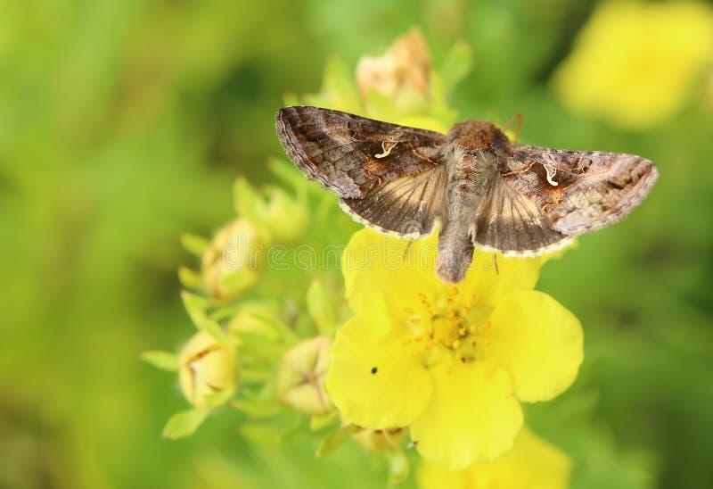Silver Y (Autographa gamma) moth sitting on cinquefoil (Dasiphora fruticosa).  royalty free stock photo
