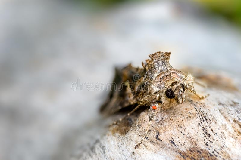 Silver Y Moth, Autographa gamma and Mite. The Silver Y Autographa gamma moth migrates here each year from North Africa and Southern Europe. Summer generations stock photos
