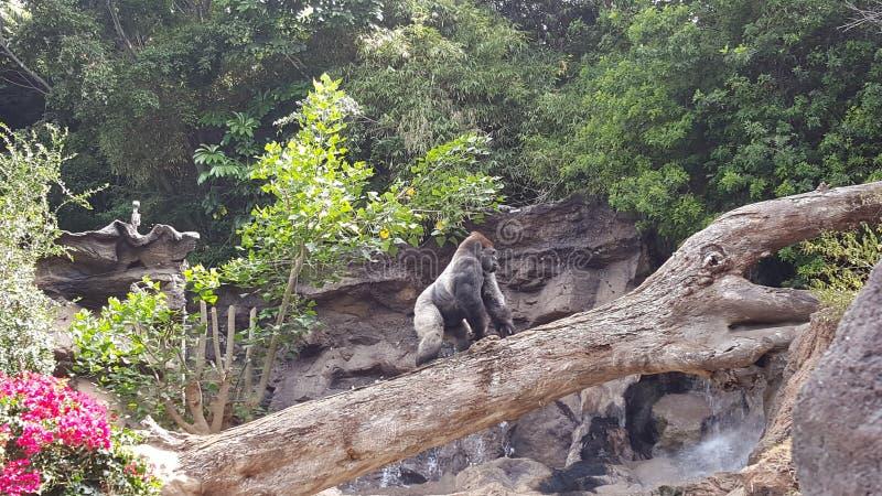 Silverback大猩猩 免版税库存图片
