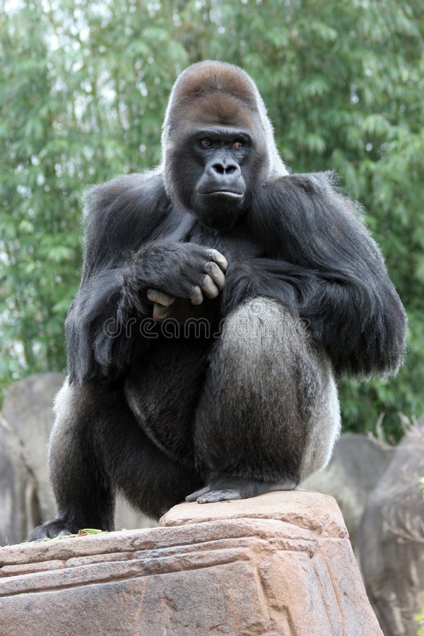 silverback гориллы стоковое изображение rf