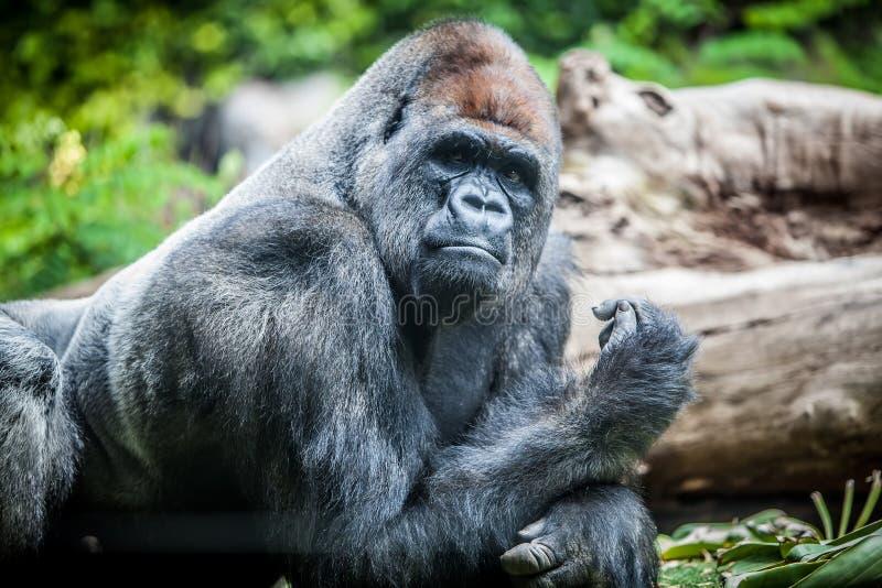 Silverback gorilla royalty free stock photography