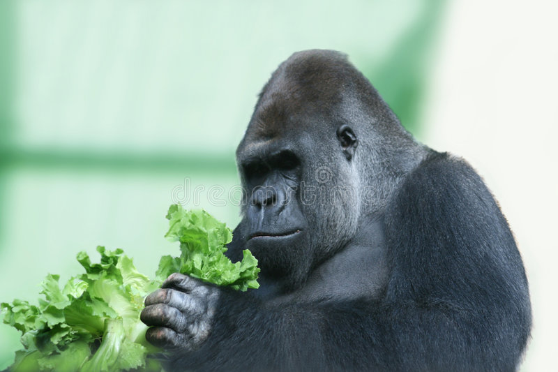 Silverback gorilla. Portrait of a gorilla feeding on green salad leaves. The biggest and strongest of the anthropoid apes, the dominant older males, called stock images