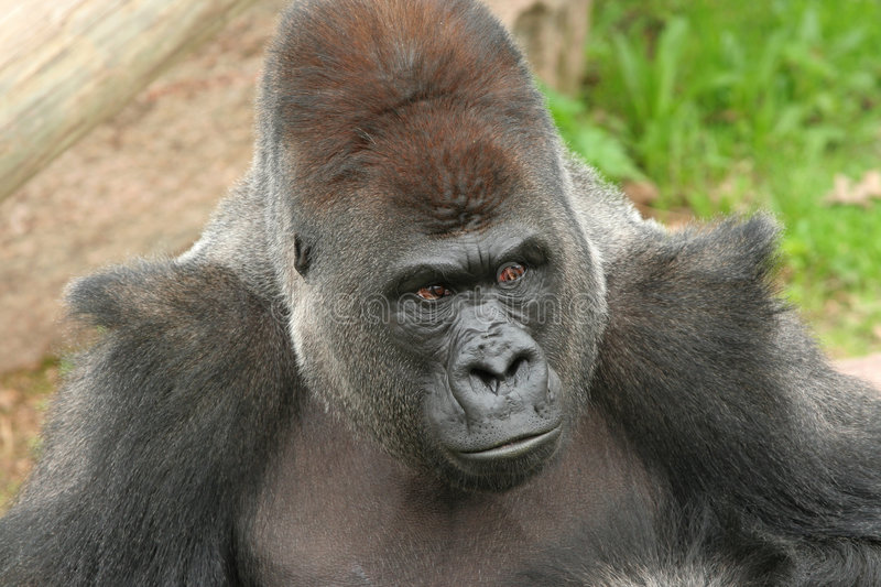 Download Silverback gorilla stock image. Image of thoughtful, hairy - 5310317