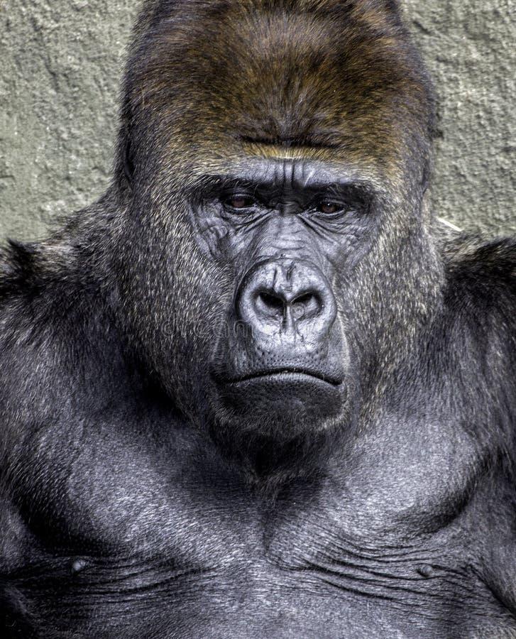 Silverback Gorilla. Closeup of a male silverback gorilla stock photos