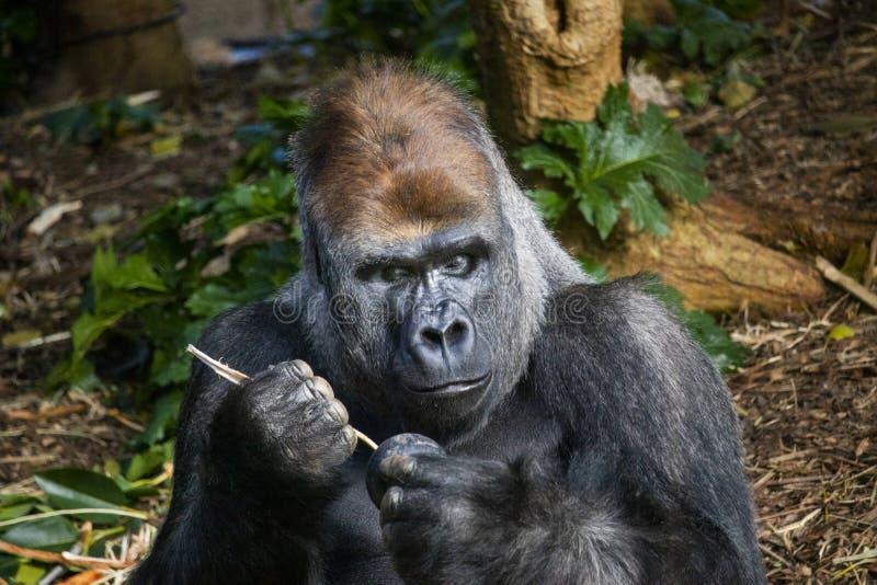 Silverback-Gorilla, der aus einem kong heraus isst stockfotografie