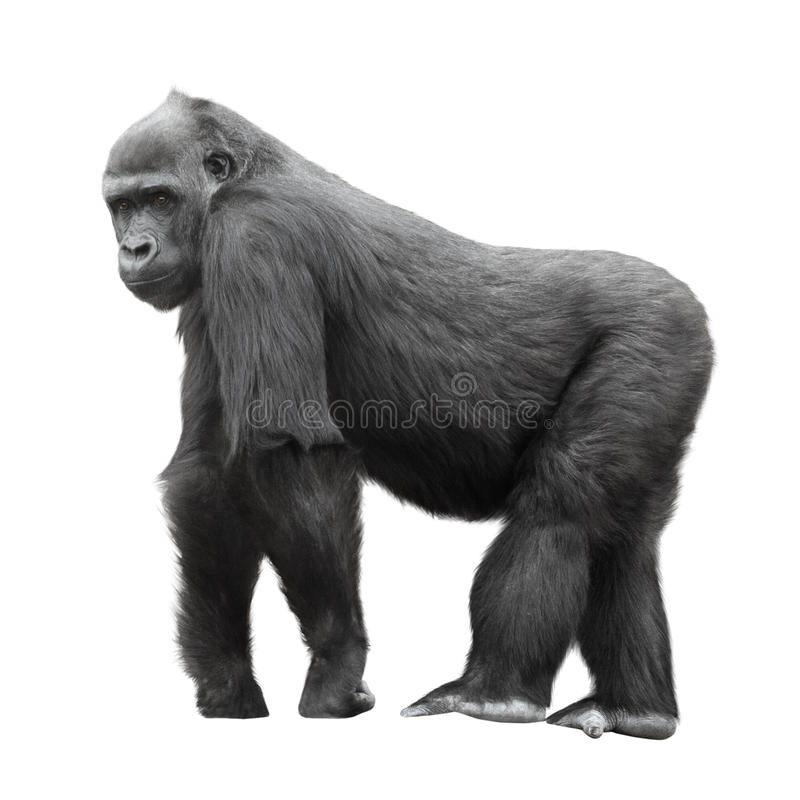 Free Silverback Gorilla Isolated On White Royalty Free Stock Photos - 32162938