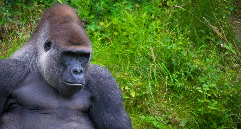 Gorilla relaxing in grass royalty free stock photos