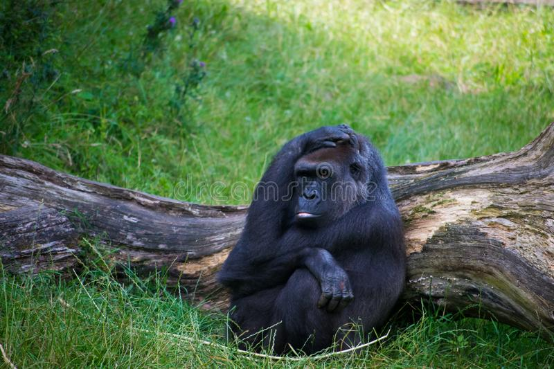 Gorilla relaxing in grass stock image