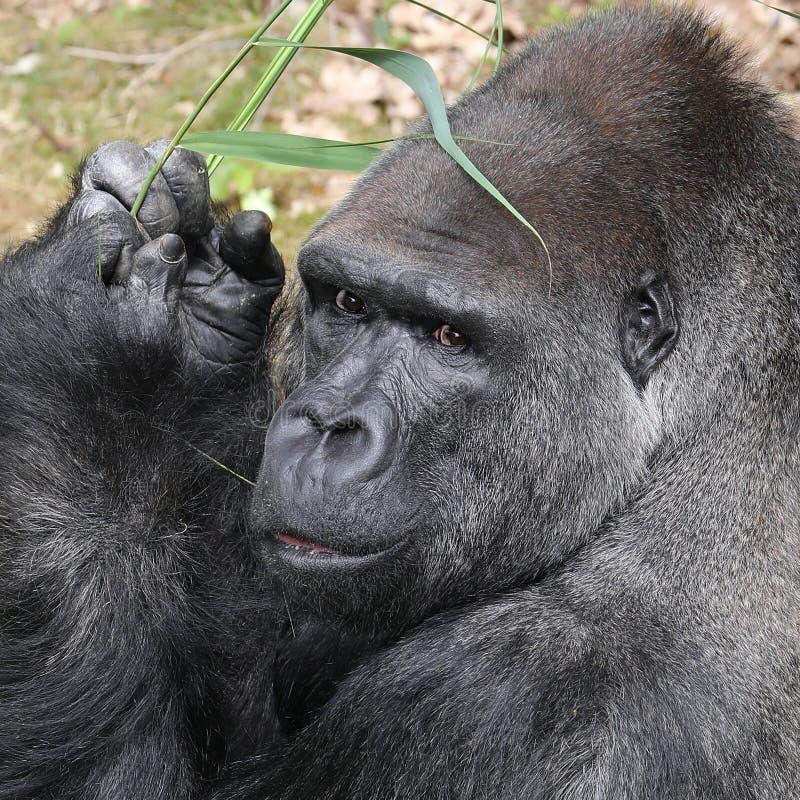 Silverback gorilla. A Silverback gorilla close-up portrait royalty free stock photos